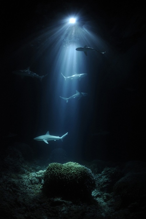 magicalnaturetour:  Night sharks by Thomas P Peschak, Germany/South Africa