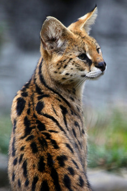 h4ilstorm:  Serval (by Steve Tracy Photography)