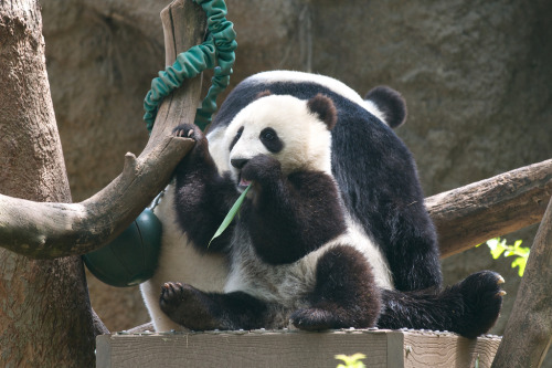 giantpandaphotos:  Xiao Liwu and his mother Bai Yun at the San Diego Zoo on May 16, 2013. © Rita Petita.