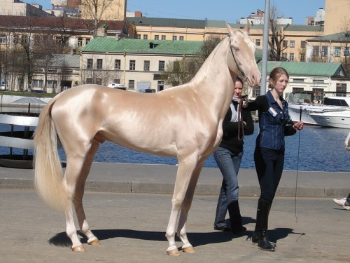 immemoris:  This horse from Turkey was supposedly announced the Most Beautiful Horse in the World today.