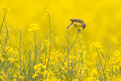 fairy-wren:  Western Yellow Wagtail. Photo by kivza