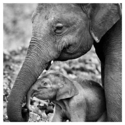 #animals #elephants #baby #cute #love #igers #igdaily #instapic #instamood #instagood