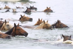 Chincoteague Island horses make the swim