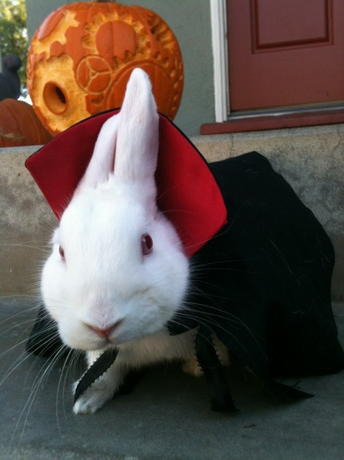 gothiccharmschool:  Bunnicula! (Clovis Devilbunny, upon seeing this, has demanded that I get his red-lined vampire cape out of the doll clothing armoire.)