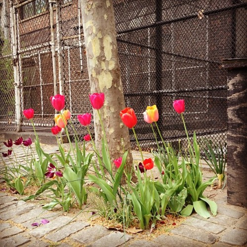 All the pretty tulips. #springinnyc  (at East Village)