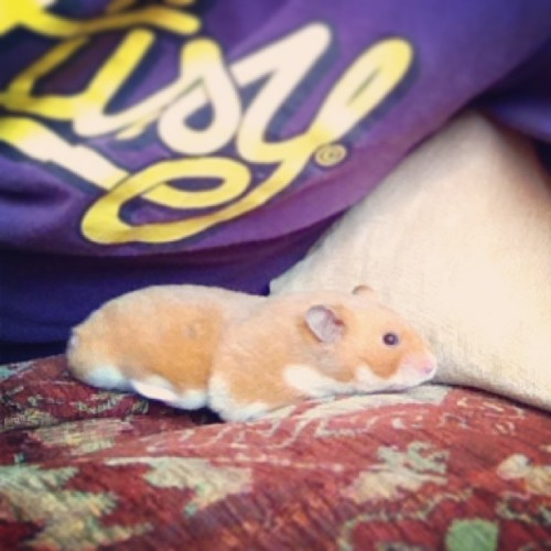 #hamster #hank #hankmoody #syrian #pet #fluffy #furry #cute