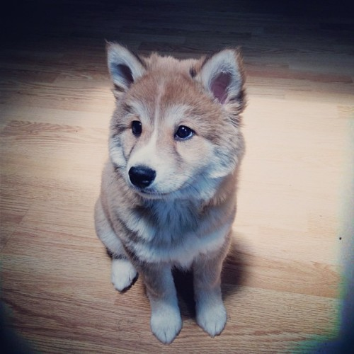 Day 19: 🐺 #shiba #shibastagram #pet #puppy #doglife  (at Thirteen-Sixty™)