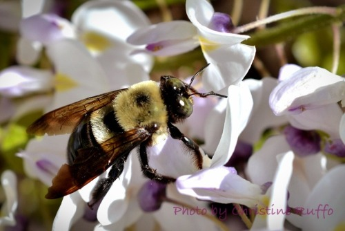 Busy bee  Photo by Christine Ruffo