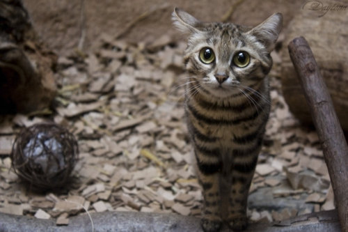 animals-animals-animals:  Black-footed Cat (by DaytonaBlue64Impala)  I want you