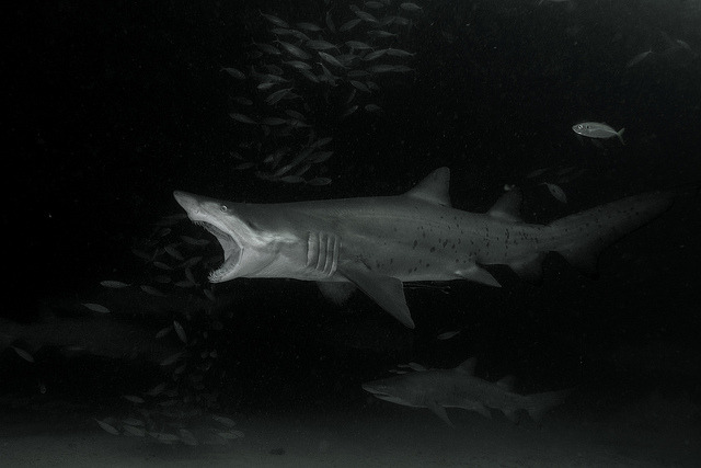 sharkpics:  grey nurse shark