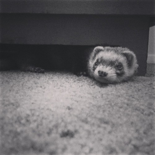 I work too much and hang out with this guy too little. #instaferret #ferret #petstagram #taco #bummer (at Outer Space)
