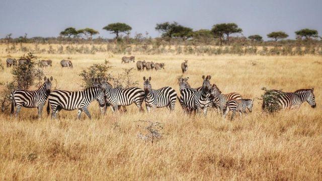 Famille nombreuse 🦓 . . #tanzania #tanzanie #tanzania🇹🇿 #serengeti #ngorongoro #tarangire #nationalgeographic #nationalpark #parcnational #wildlife #wildphotographer #wildlifephotography #wildlifephoto #savannah #africa #animals #animalphotography #animal #naturerey #naturephotography #naturelover #travelphotography #travel #travelgram #travelblogger #voyage #voyageursdumonde  #safari #summer #summervibes (à Tanzania) https://www.instagram.com/p/CQVheMhMg5i/?utm_medium=tumblr #tanzania#tanzanie#tanzania🇹🇿#serengeti#ngorongoro#tarangire#nationalgeographic#nationalpark#parcnational#wildlife#wildphotographer#wildlifephotography#wildlifephoto#savannah#africa#animals#animalphotography#animal#naturerey#naturephotography#naturelover#travelphotography#travel#travelgram#travelblogger#voyage#voyageursdumonde#safari#summer#summervibes