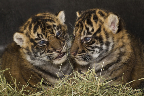 Happy first birthday to Conrad and Thomas, the 24th and 25th endangered Sumatran tigers born here at the Safari Park. They're both very special to us.
