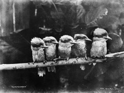 Kookaburras by Powerhouse Museum Collection on Flickr.