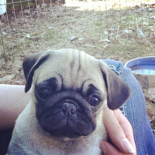 Hey. #pug #pugpuppy #pugsofinstagram #flatface #cute