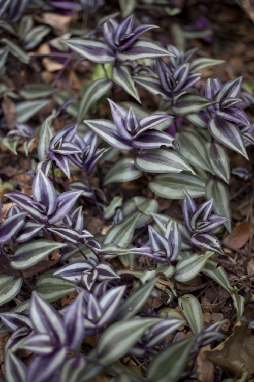 omgplants:  Wandering Jew