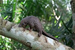 Baby pangolin by Guy Colborne.
