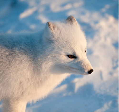 theicekingdom:  Arctic Fox by Gary Mencimer on flickr