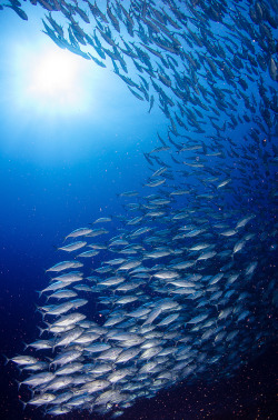 100leaguesunderthesea:  School of Jacks by Optical Ocean