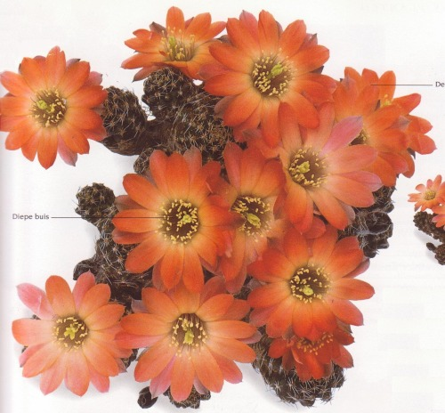 cac-tus:  Cactus: Rebutia pygmaeaBook: The complete book of Cacti & Succulents by Terry HewittPhotography source: Peter Anderson
