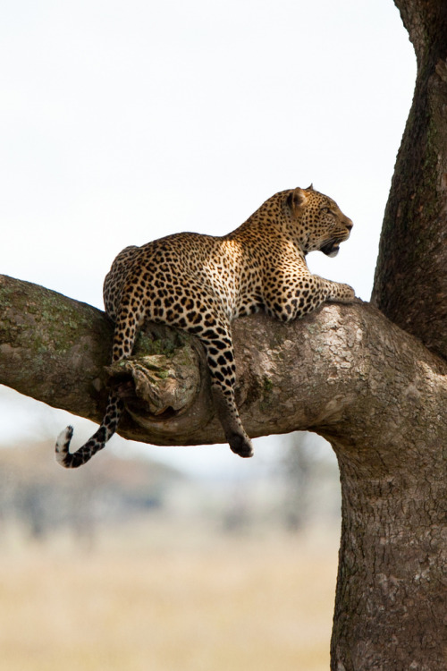 h4ilstorm:  Leopard in sausage tree (by waddell.jb)