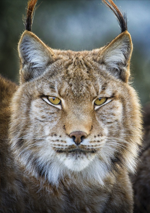 Lynx Portrait. Photo by Mario Moreno