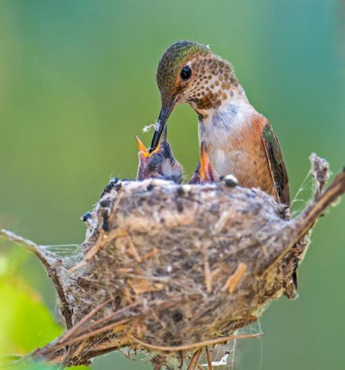 clatterbane:  Hummingbird at nest