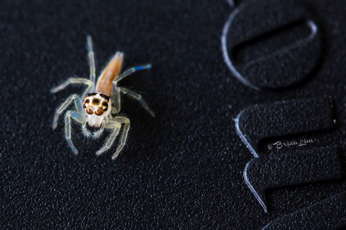 Jumping Spider by brianfc on Flickr.