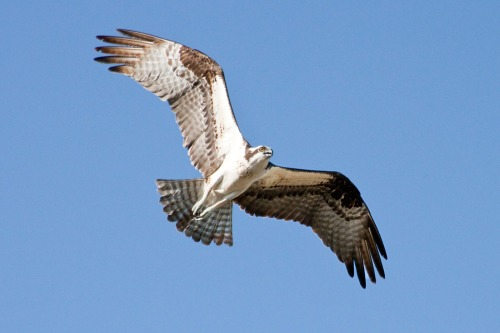 Grand Ole Osprey