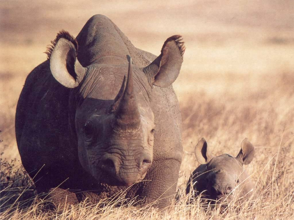Black rhino calf and cow.