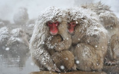 Japanese macaques, commonly referred to as snow monkeys, huddle together at an open-air hot spring at the Jigokudani (Hell's Valley) Monkey Park in the town of Yamanouchi, Nagano prefecture, Japan.  Picture: KAZUHIRO NOGI/AFP/Getty Images