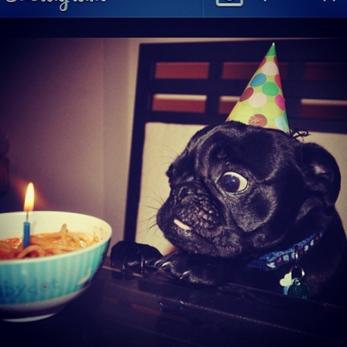 Oreo on his first birthday! Please follow @kjmaqui  ! #pugs #pug #pugsofinstagram