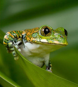 icaptivate:  animalgazing:  Peacock Tree Frog by Sera.D.   Here is the test to find whether your mission on Earth is finished: if you're alive, it isn't. Richard Bach