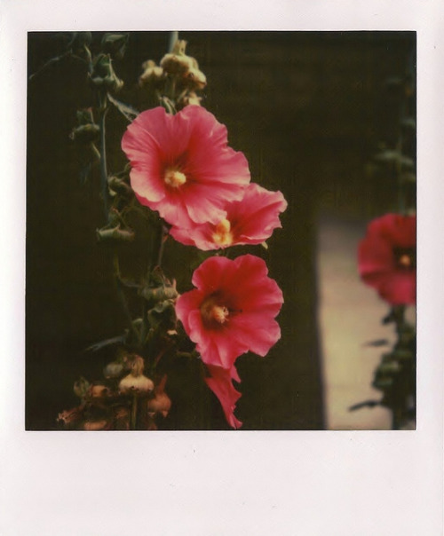 floralls:Colors part 6 - Pink (by Joep Polaroid Photography)