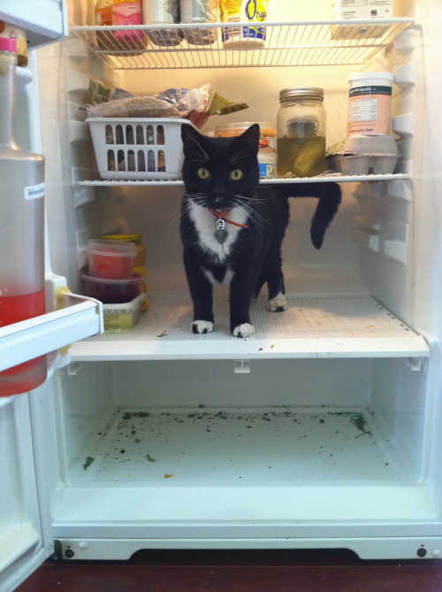 fuckyeahcatfeet:  fuckyeahfelines:  Stanley, so cute! Cat in fridge.  cute spotty toes!