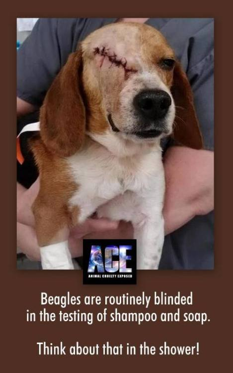 Beagles are routinely blinded in the testing of shampoo and soap. Think about that in the shower!