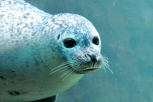 Cute seal looking through the window by Tambako the Jaguar on Flickr.
