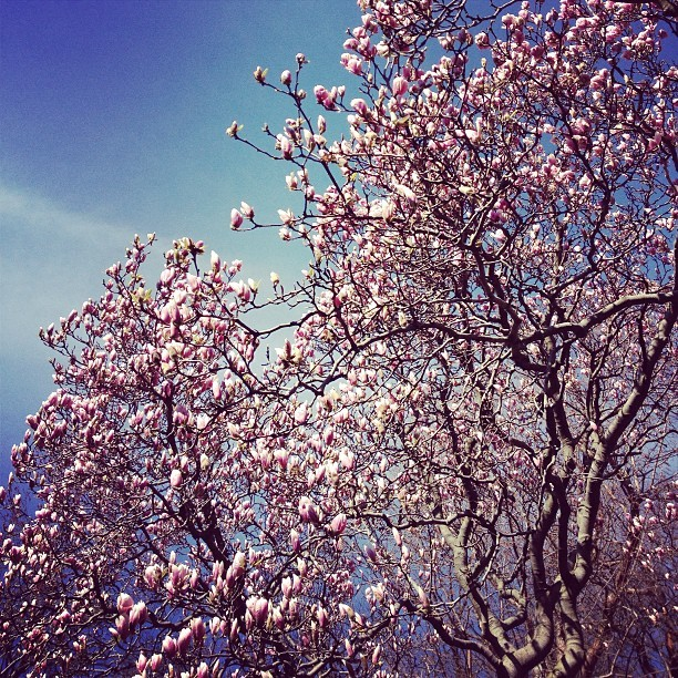 Tough call:cherry blossoms in Tokyoor magnolias in New York City? This fromtravelbyfoldingamap:  I think magnolias top cherry blossoms this year #spring #prospectpark #brooklyn #magnolias #nyc #flowers #pretty #bloom #beautifulday