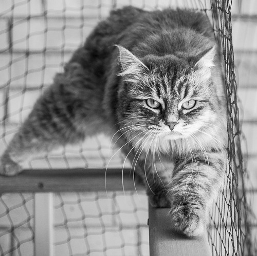 Tiger in cage on Flickr. Tiger in cage