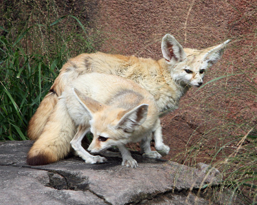 Fennec foxes by nhpanda (still trying to catch up….) on Flickr.