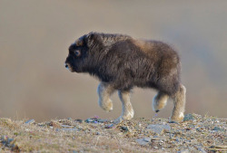 catsandthelaw:  laughingcutlery:  This is a baby musk ox.  That has got to be the cutest calf I've ever seen.