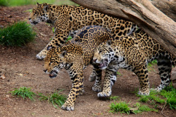 sdzoo:  Here Come the Jags by Penny Hyde on Flickr. Maderas, Nindiri, and Tikal - the Jaguar family