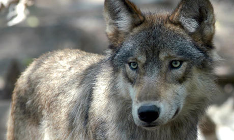 magicalnaturetour:  Yellowstone's popular alpha female wolf was shot dead by hunters outside park. Gray wolves at Yellowstone are tagged in an effort to study their habits and population spread. Photograph: Dawn Villella/AP via guardian.co.uk  R.I.P. dear one ♥  Hunting makes me sick.