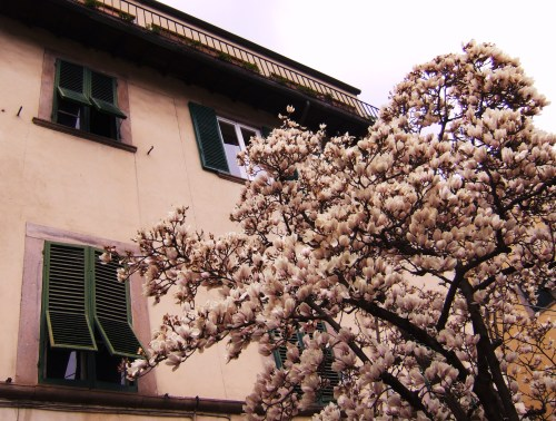 i'll be boring and say that i also like magnolias :D Lucca, Italy