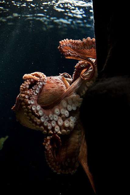 funkysafari:  Octopus in the Georgia Aquarium, Atlanta by Steven David Johnson