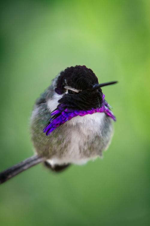 h4ilstorm:  Hummingbird (by William T Hornaday)