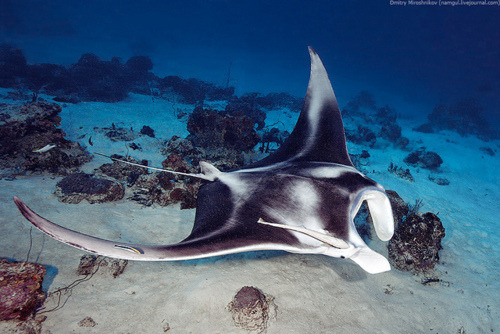"Manta rays are some of my favorite marine animals (along with nudibranches and cutflefish.)  They're well known for their large size, docile nature and for their ""flying"" movement in the water.  There are actually two recognized species of manta ray—Manta birostris (known as the Common Manta Ray) and M. alfredi.  Mantas usually found near coral reefs and along continental shelves, although the Common Manta also traverses the open ocean along with the currents.  Mantas are filter feeders and have plates in their mouths which they sieve water through to extract tiny plankton and crustaceans, similar to how baleen whales feed.  Female rays carry their eggs until the pups are ready to hatch—several species of rays and sharks do this.  Female mantas give birth to only one or two pups and do not always breed every year. This slow reproductive rate means that mantas are very vulnerable to overfishing (which causes a lack of food) and pollution.  They are also accidentally caught in fishermen's nets.(x)(x)(x)"