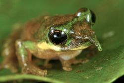 wtfevolution:  The Pinocchio frog has strong hind legs for leaping, sticky feet for clinging to treetops, bulbous eyes for seeing all around, and a pointy, inflatable nose for… um… okay, fine, evolution has no idea what the pointy, inflatable nose is for.