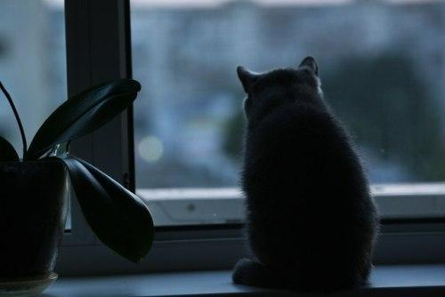 Missing focus #morning #British Shorthair Cat #british cat#cat#rubber plant#window