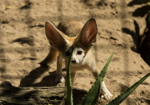 Fennec Fox by D Fraser on Flickr.